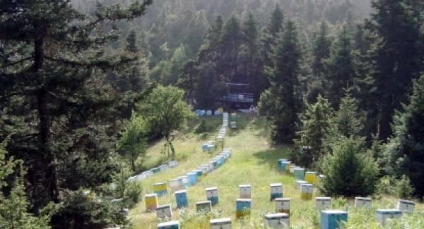 Στο πεύκο οι τελευταίες ελπίδες των μελισσοκόμων!