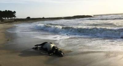 Απίστευτο! Η θάλασσα ξέβρασε… αγελάδα στην Κυπαρισσία