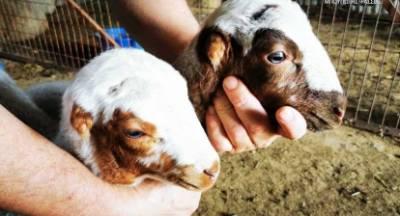 Γεννήθηκαν αρνάκια χωρίς αυτιά! (photos)