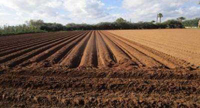 Κινδυνεύει η καλλιέργεια της πατάτας στην Καλαμάτα