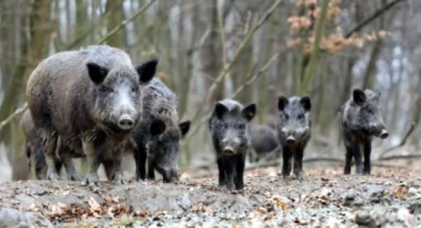 Ομάδες κυνηγών διώκουν τον υπερπληθυσμό αγριόχοιρων στη Μεσσηνία