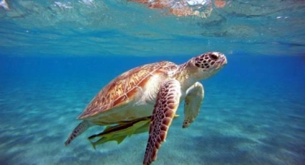 Λακωνία: Εμφανίστηκαν οι πρώτες θαλάσσιες χελώνες