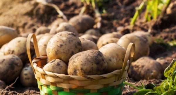 H εαρινή πατάτα, από τα 17 βλέπει τα 25 λεπτά