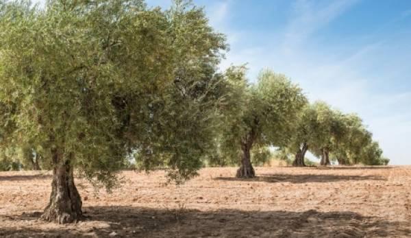 Βελόπουλος: «Χιλιάδες στρέμματα με ελιές Καλαμών οδηγούνται σε εγκατάλειψη»
