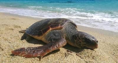Σκοτώνουν τις χελώνες… πριν γεράσουν!