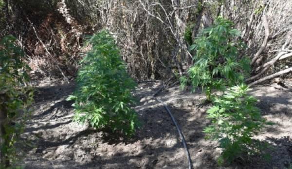 Φυτεία κάνναβης με 119 δενδρύλλια εντοπίστηκε στη Μεσσηνία (photos)