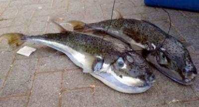 Προσοχή! Λαγοκέφαλοι στα νερά του Ιονίου
