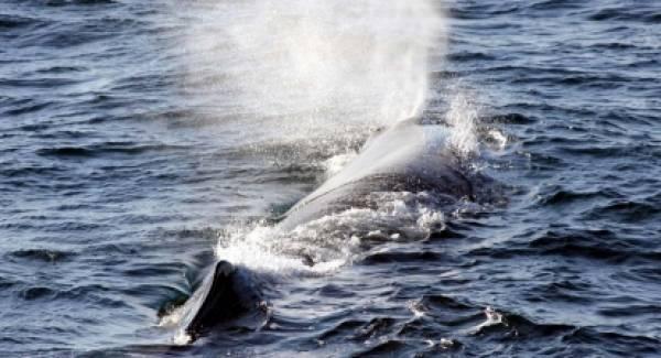 Έμοιαζε με φάλαινα αλλά ήταν ο γνωστός φυσητήρας στα νερά της Μάνης (video)