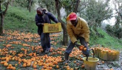 Η πανδημία «απειλεί» την ομαλή συγκομιδή πορτοκαλιού