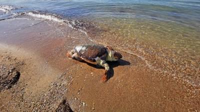 Χτυπημένη θαλάσσια χελώνα στην παραλία Καραθώνας στο Ναύπλιο