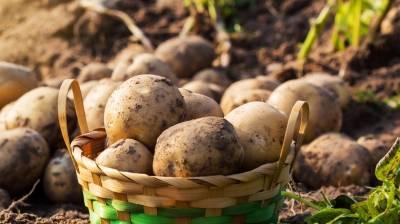 Πατάτα: Στον δεύτερο κύκλο η παραγωγή, πιέσεις στις τιμές