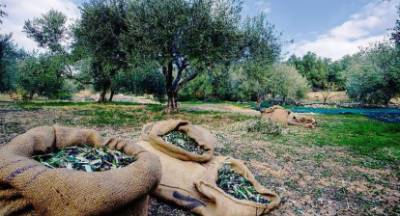 Η προθεσμία για τις αιτήσεις αποζημίωσης της ελιάς λόγω πανδημίας