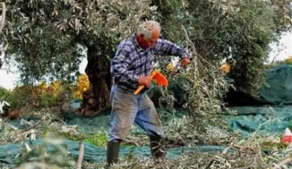 Πετράκος: «Μισές  δουλειές  για τους ελαιοπαραγωγούς … από τον υπουργό Αγροτικής Ανάπτυξης»