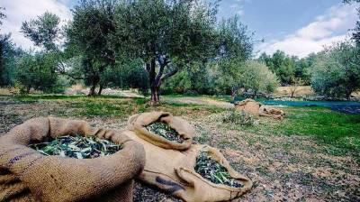 Μικρότερη παραγωγή και δάκος σε Λακωνία και Μάνη