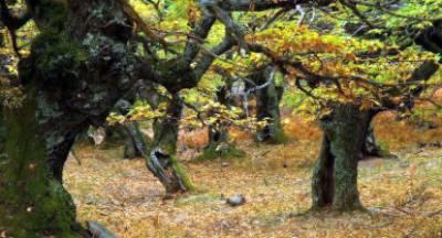 Απειλούνται τα καστανόδενδρα της Ηλείας!
