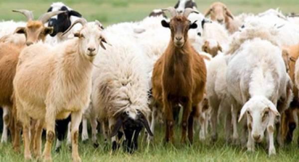 Κρούσμα εγκεφαλοπάθειας σε αιγοπρόβατα στην Ηλεία