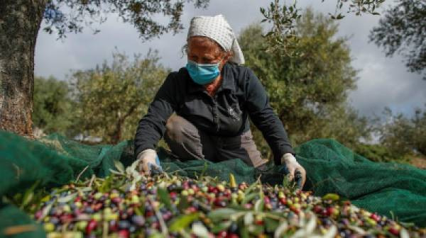 Μειωμένη κατά 240.000 τόνους η παραγωγή ελαιόλαδου στην Ελλάδα