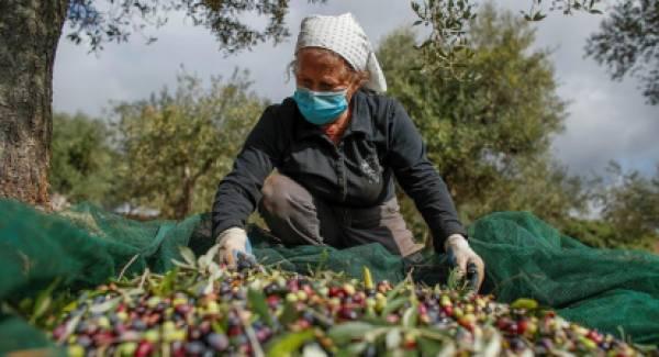 Προβληματισμένοι οι παραγωγοί για την τιμή του λαδιού στην Ηλεία