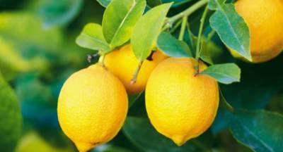 Φέτος «βγήκε» ξινό το λεμόνι στην Πελοπόννησο!