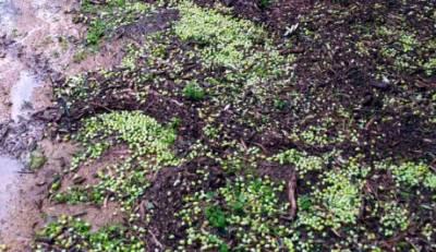 Καταστροφές αγροκαλλιεργειών του Δήμου Μονεμβασίας από τη χαλαζόπτωση (video)