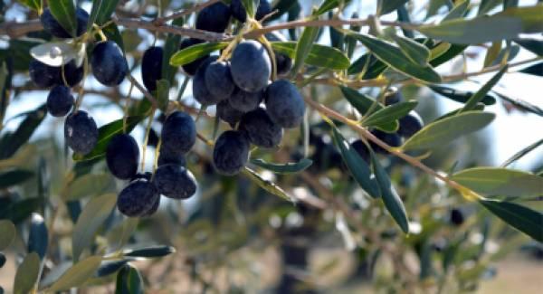 Αgronews.gr: Ο ρεαλισμός του Kalamata Olives και η ουτοπία του ΠΟΠ Ελιά Καλαμάτας