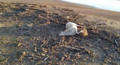 Νεκρά πρόβατα ξέβρασε ποτάμι στην Ήλιδα