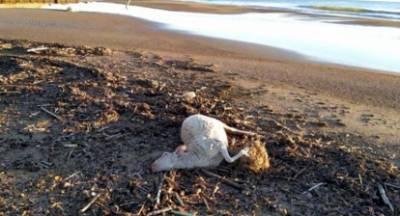 Τα νεκρά πρόβατα που ξέβρασε η θάλασσα στην Αμαλιάδα τα έριξαν από πλοίο!