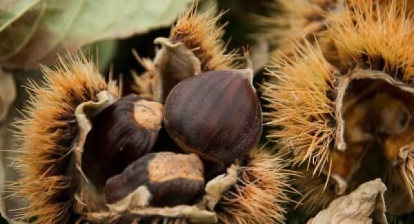 Μέσω του de minimis 2021 οι αποζημιώσεις των καστανοκαλλιεργητών για το 2020