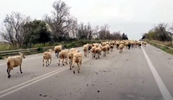 Πρόβατα στη σφαγή… του Πάτρα – Πύργος! (video)