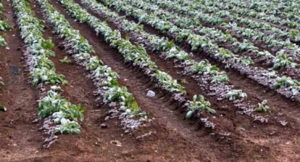 Παγετός «κτύπησε»  πατάτα, κηπευτικά και δημητριακά στην Δυτική Αχαία