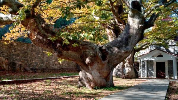 Θρυλικά πλατάνια του Μενέλαου 3.000 χρόνων στη Λακωνία