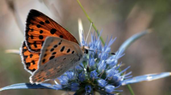 Κυκλοφορεί ο Οδηγός  για τις Πεταλούδες του Πάρνωνα