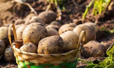 Άμεση οικονομική στήριξη των παραγωγών πατάτας ζητά ο ΣΥΡΙΖΑ
