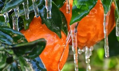 Πού πώς και έως πότε δηλώνετε τη ζημιά από τον παγετό της 17ης Φεβρουαρίου