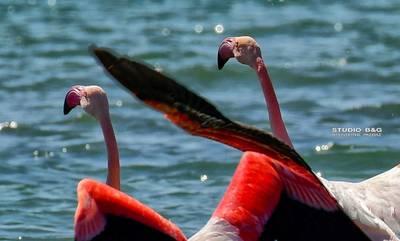 Είναι λιγνά, κομψά, ροζ και αγαπημένα στο Ναύπλιο (photos/video)