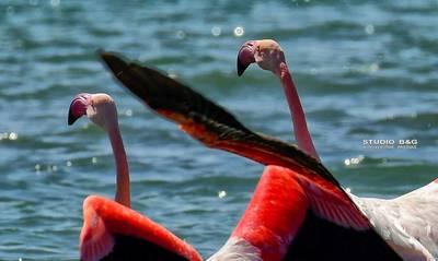 Είναι λιγνά, κομψά, ροζ και αγαπημένα στο Ναύπλιο