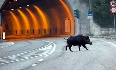 Έχετε δει αγριογούρουνο να τρέχει στην Εθνικό Οδό; Δείτε το! (video)