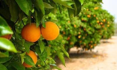 Λακωνία: Mειωμένη η παραγωγή στο πορτοκάλι. Ελπίζουν στα Βαλέντσια!