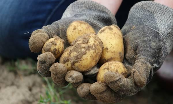 Μειώνεται το ανώτερο όριο υπολειμμάτων chlorpropham στην πατάτα