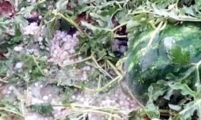 Εκτεταμένες καταστροφές από χαλαζόπτωση σε καλλιέργειες της Μεσσηνίας!