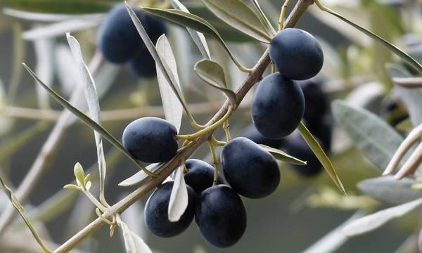 Δημ. Νταλιάνης: Ο Δήμος Ευρώτα να διεκδικήσει την κατοχύρωση της ποικιλίας Καλαμών ως ελληνικής