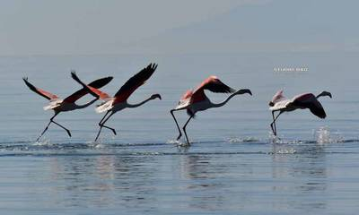 Τα όμορφα Φλαμίνγκο στον υδροβιότοπο του Ναυπλίου! (video)