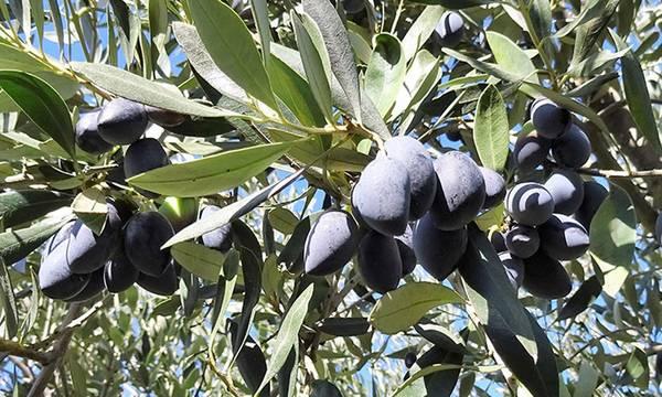 Η παραγωγή της ελιάς Καλαμών στο έλεος του καιρού. Ανησυχία των παραγωγών στην ηπειρωτική Ελλάδα!