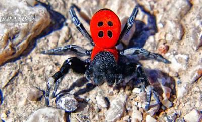 Προσοχή! Η αράχνη πασχαλίτσα δεν απειλεί, απειλείται!