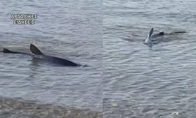 Ναύπλιο: Καρχαρίας εμφανίστηκε στην παραλία Καραθώνας (video)