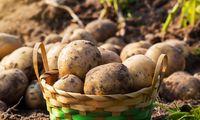 Ανησυχούν για την πατάτα στην Αρκαδία