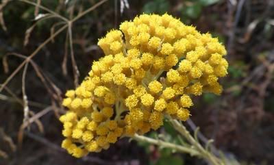 Σεμπρεβίβα: Το κίτρινο λουλούδι των Κυθήρων
