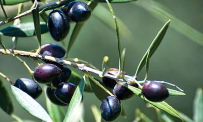 Ερώτηση της Ελληνικής Λύσης για «Ανταγωνιστικό πλεονέκτημα στους παραγωγούς ελιάς Καλαμών»