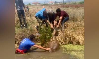 «Κραυγή βοήθειας» από γάιδαρο που βρέθηκε σε αποστραγγιστικό κανάλι στην Μεσσήνη (video)