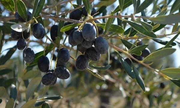 Μαντάς: Σε τρικυμία για την ΠΟΠ Ελιά Καλαμάτας ο ΣΥΡΙΖΑ Μεσσηνίας